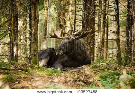 Moose Bull