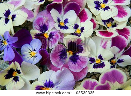 Pansy Background