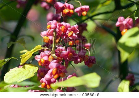 Common spindle bush - Euonymus europaeus