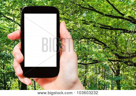 Smartphone And Green Oak Branches In Summer Forest