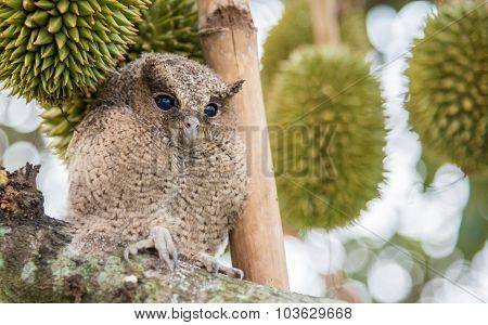 The Young Owl