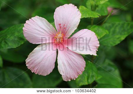 Pink Hibicus Is Blooming