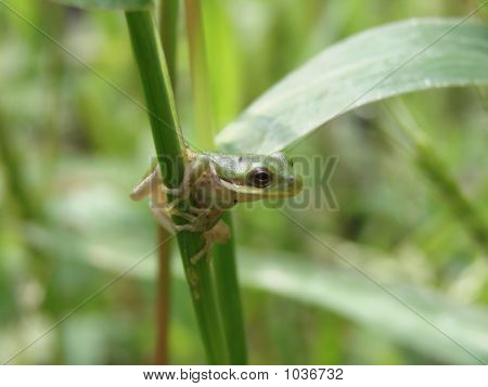 young of the year squirrel treefrog found hopping through tall grass. poster