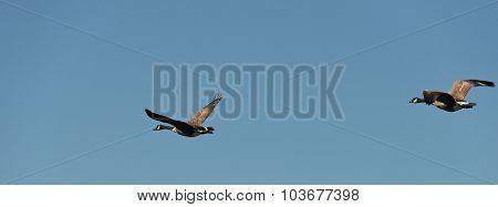 Two Geese Flying On A Blue Sky