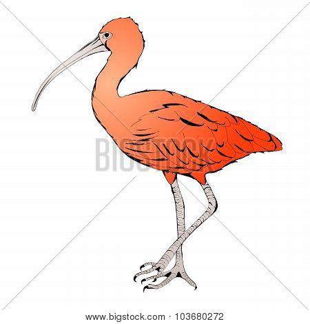 Eudocimus Ruber Or Red Ibis