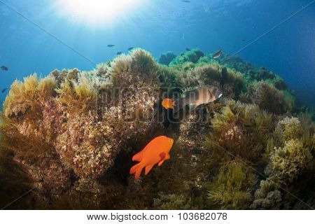 A Beautiful Reef Scene In Catalina With Sunburst And Garibaldi