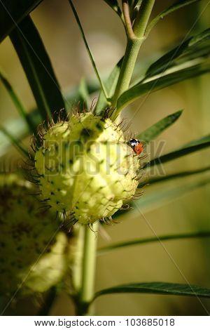 Cotton Milkweed