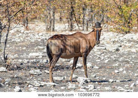 Red Hartebeest - Etosha, Namibia