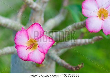 Adenium Obesum Or Desert Rose Flower