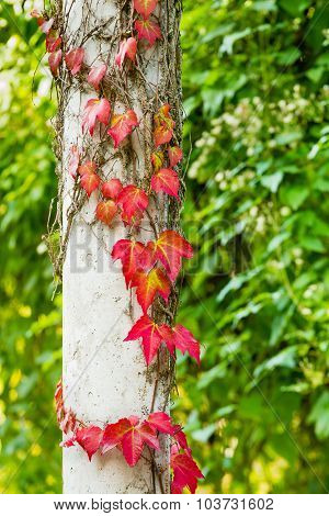 Ivy Is Turning Red