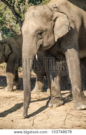Elephant Live In Village With People In Nepal