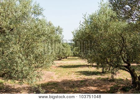 Olive grove group of olive trees in sunny southern Europe - road poster