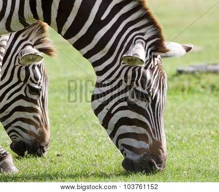 Zebras Are Eating The Grass Together