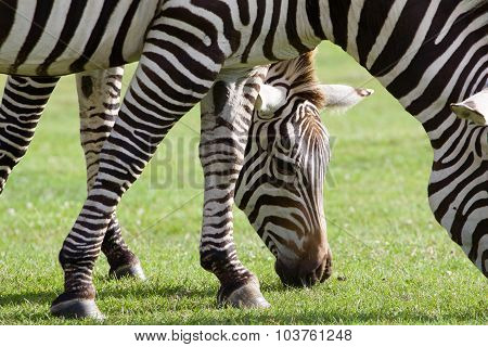 Beautiful Picture With Two Zebras