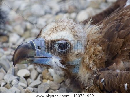 The Portrait Of The Unique Cinereous Vulture