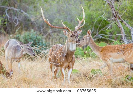 Spotted Deer Buck