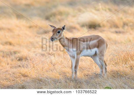 Blackbuck Calf