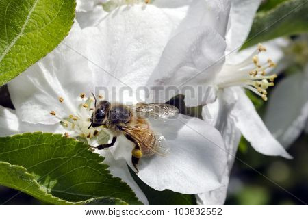 Bee gathering honey from a flower almond tree