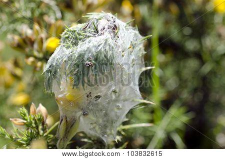 Gorse Spider Mite - Tetranychus Lintearius