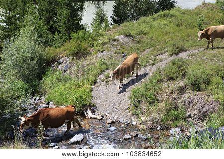 Cows graze near a river in Altai mountains.