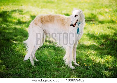 White Russian Borzoi staying outdoor in summer meadow, field green grass