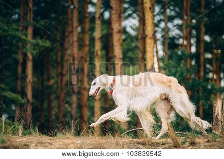 White Russian Wolfhound Dog, Borzoi, Hunting dog, Sighthound running in countryside road.