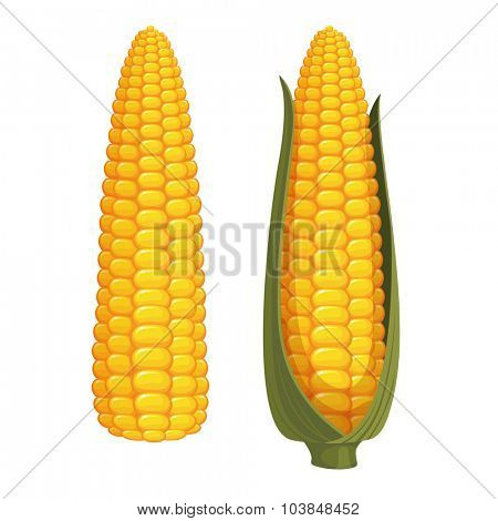 Set of two ripe corn cobs isolated on white background. Vector illustration.