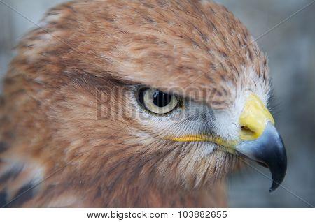 Portrait Of A Hawk