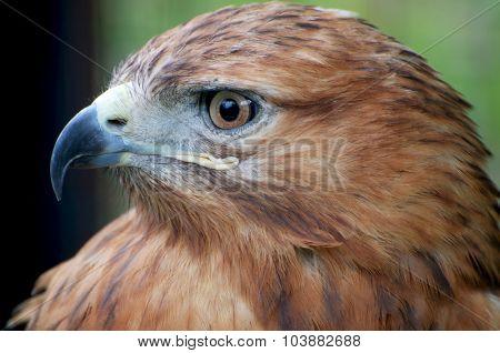 Hawk Profile