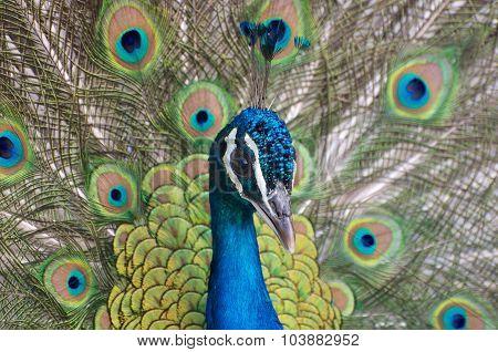 Peacock Portrait Close-up