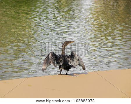 Reed Cormorant 2
