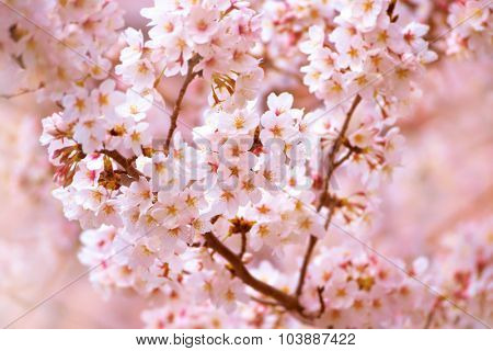 Cherry blossom in full bloom in spring. Someiyoshino cherry tree.
