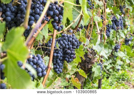 Cabernet Red Wine Grape in a Vineyard