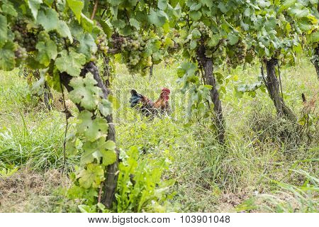 Chickens in an Organic Vineyard