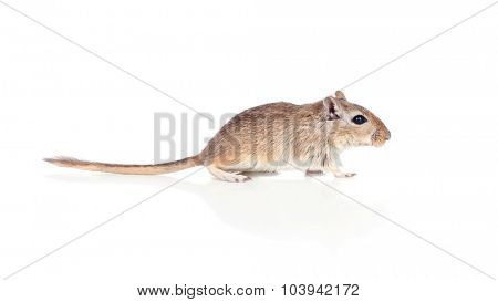 Profile of a gerbil isolated on a white background