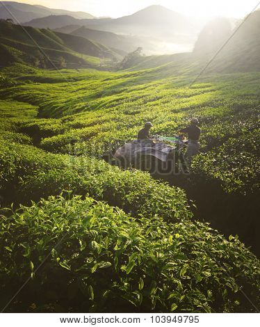 Tea Pickers Agriculture Growth Harvest Plantation Concept