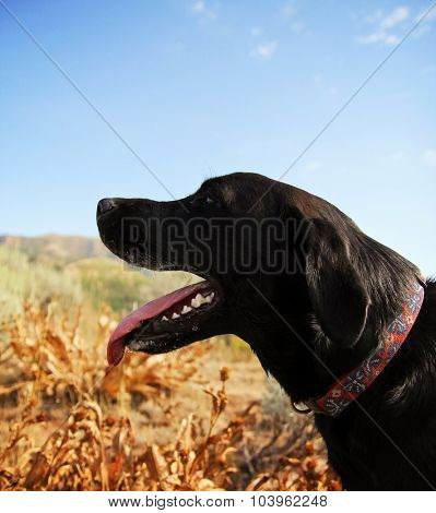 a black lab panting in a field on a hot summer day