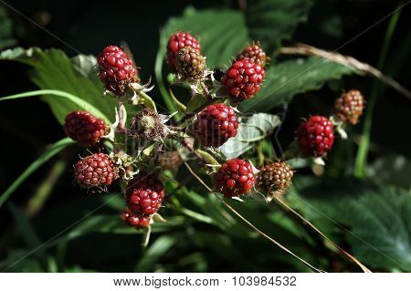 Bramble fruit red before turning ripe and black.