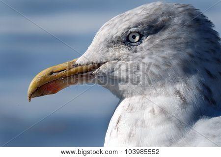 Head of herring gull.