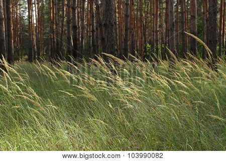 Wild Grass In A Pine Forest. Many Tall, Slender Pine Trees In The Background In The Background And F