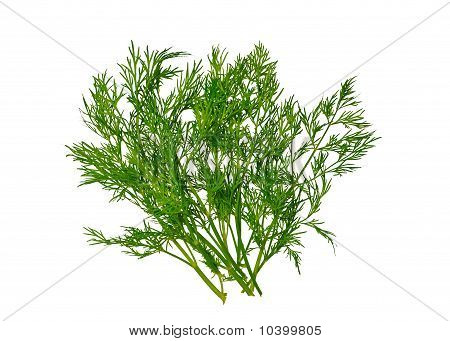 Fresh Dill (Without the shadows)