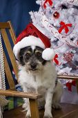 mixed breed dog mutt sitting in a rocking chair in front of christmas tree with a santa hat on. poster