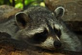 Sleepy raccoon, resting on a log in the forest poster