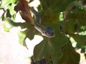 grey rat snake inspecting the camera lens. poster