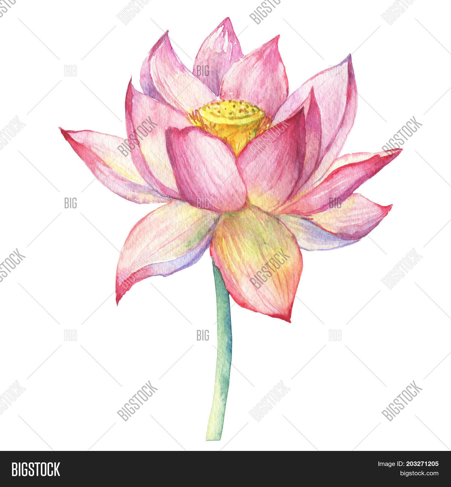 Pink Flowers Lotus Image Photo Free Trial Bigstock
