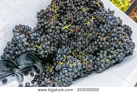 Bunches of grapes in vine press. Vintage theme. Autumn harvest.
