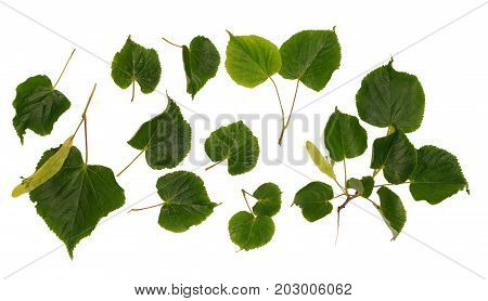 Collections of linden flowers and leaf isolated on white background