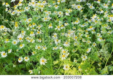 Background of the stalks of blossoming chamomile closeup