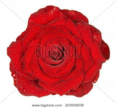 Fresh red rose with drops of water isolated over white background