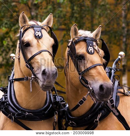 Two Norvegian Fjord Males In Blinkers Staying Outdoor